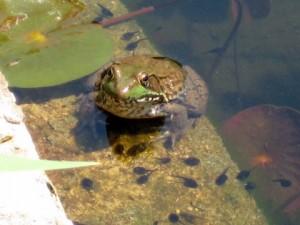 frog & tadpoles