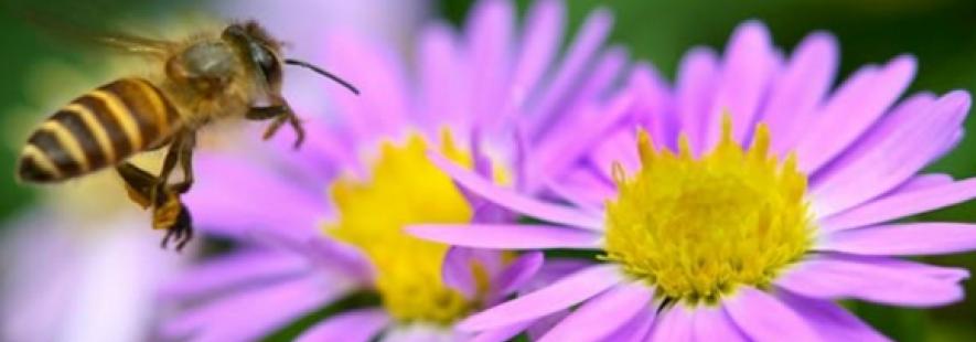 emily dickinson bee