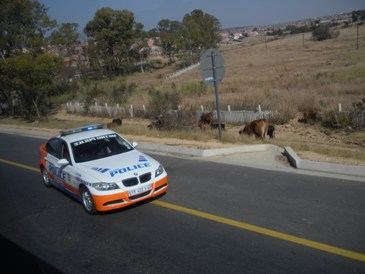 Police escort and cows on the way to Rustenburg